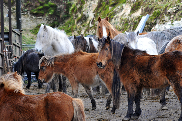 A group of ponies collected from Bodmin