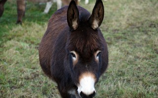 Adopt a donkey for Easter